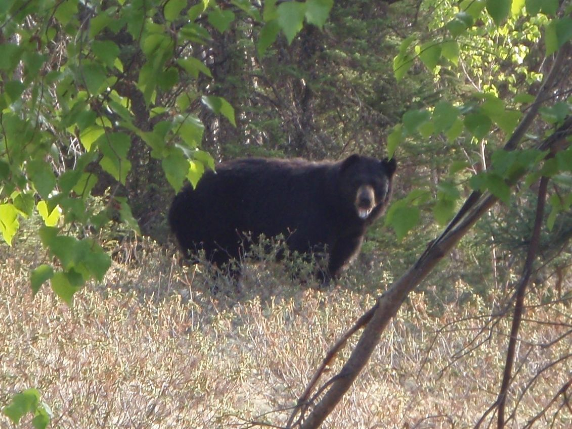 Bear Black Bear Hunting